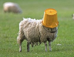 Sheep with a bucket on his head